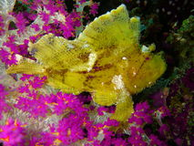 Yellow fish on coral reef. Close up of yellow fish swimming next to purple coral reef underwater Stock Photo