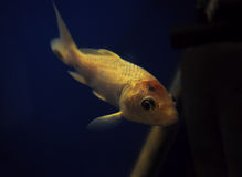Yellow fish at dark blue water Royalty Free Stock Photo