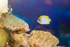 The yellow fish drifts among corals Stock Photography