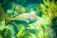 The yellow fish drifts among corals at the aquarium Stock Images