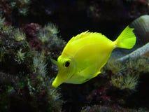 Yellow fish. Garish yellow fish, coral background stock photos