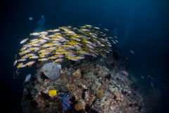 Yellow fish group school. Underwater scuba Royalty Free Stock Images
