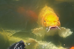 Yellow fish in the lake Stock Photos