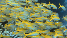 Yellow fish near a coral reef. A full shot of a group of yellow fish. Camera moves forward to show a nearer view stock footage