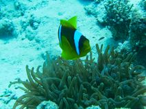a yellow fish near corals