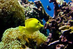 Yellow fish in reef Stock Photo