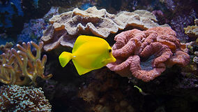 Corals and yellow fish Royalty Free Stock Image