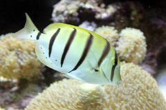 Yellow fish with stripes stock photo