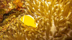 Yellow fish swimming in anemone stock images