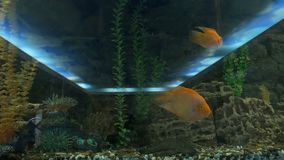Yellow fish swimming in an aquarium video. Yellow fish swimming in aquarium video stock footage