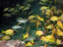 Yellow fish swimming in sea. Underwater view of yellow fish swimming in sea over coral reef stock photo