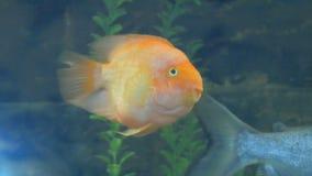 Yellow fish swimming video in an aquarium stock footage