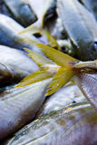 Yellow fish tails at market. A close up view of a pile fish with several yellow tails in focus at a fish market Royalty Free Stock Image
