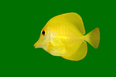 Yellow fish (Tang) on green. Yellow Tang (Zebrasoma flavescens) isolated on a green background Stock Images