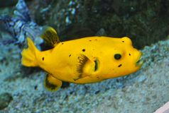 Yellow Puffer fish Stock Photo