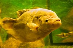 Yellow fish under water Stock Image