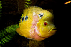 Yellow fish in water Royalty Free Stock Image