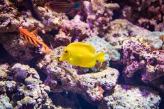 Yellow Fish. A yellow fish in the water Stock Images