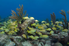 Yellow Fish and Wreckage. A school of yellow fish seek shelter from the currents around a piece of wreckage overgrown with coral Stock Photos