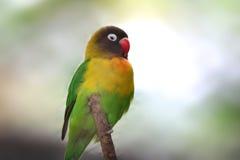 Yellow Fishers love bird. Close up shot of Yellow Fishers love bird Royalty Free Stock Photo