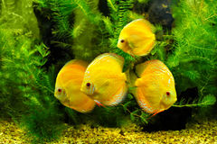 Yellow fishes Stock Photography