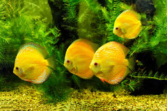 Yellow fishes Royalty Free Stock Image