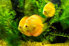 Yellow fishes Royalty Free Stock Photography