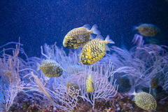 Yellow fishes Royalty Free Stock Photos