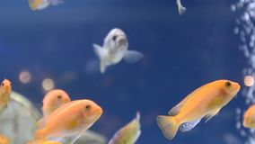Yellow fishes in Aquarium stock footage