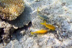 Yellow fishes underwater Stock Photo