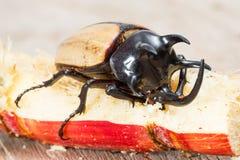 Yellow five horned beetle Stock Image