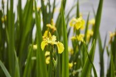 Yellow Flag Iris Stock Images