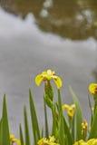 Yellow Flag Iris Royalty Free Stock Photography