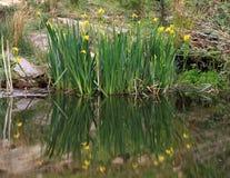 Yellow Flag Iris Stock Photo