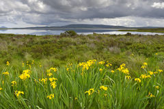 Yellow flag Iris with lake in background. Yellow flag Iris (Iris pseudacorus) in front of an Irish lake at the westcoast of Ireland stock photography