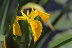 Yellow flag iris Stock Image