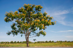 Yellow flamboyant tree Stock Image