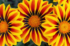 Yellow flame Gazania flowers. Close-up of colorfully blooming Gazania flowers, the Big Kiss Yellow Flame Gazania Stock Photos