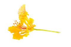 The yellow flame tree flower isolated Stock Photography