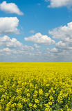 Yellow flat field of rape crop Stock Photography