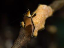Yellow flat worm. On black background Stock Photo
