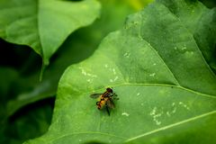 Yellow flies on leaves. royalty free stock image