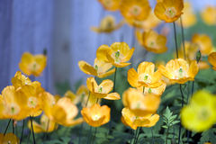 Yellow floers Royalty Free Stock Photography
