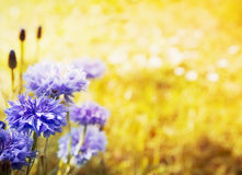 Yellow floral background with blue cornflowers. And bokeh royalty free stock images