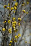 Yellow floral background. Yellow flowers growing on branches- floral background Stock Images