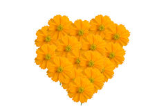 Yellow floral heart shape. Yellow Cosmos as isolated background royalty free stock photo