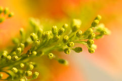 Yellow floret Stock Image