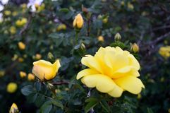 Yellow Floribunda Roses and Buds. Yellow roses, Floribunda, Latin for `many-flowering,` a modern group of garden roses developed by crossing hybrid teas with stock images