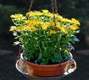 Yellow flourishing asters. In  a weighing dish Stock Images