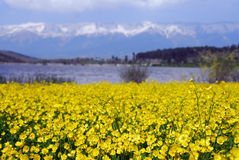 Yellow flover. Yellow flowers and mountains in nature royalty free stock photography